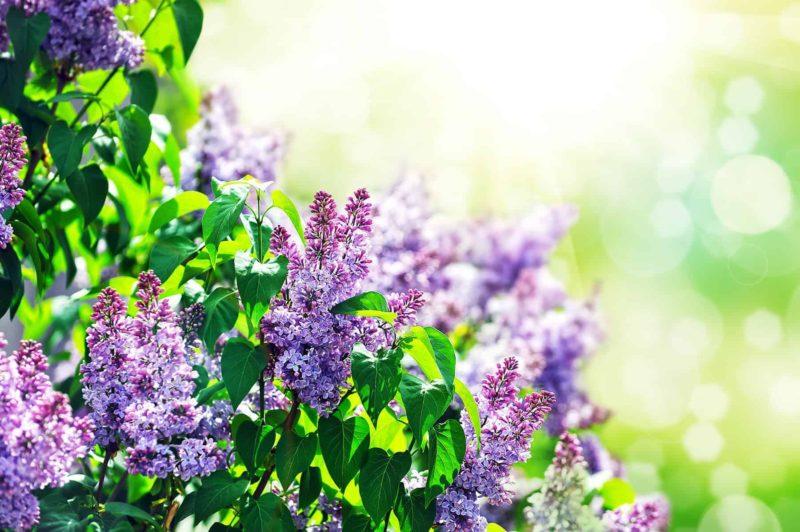 Krzewy ozdobne: jakie wybrać krzewy kwitnące do ogrodu?