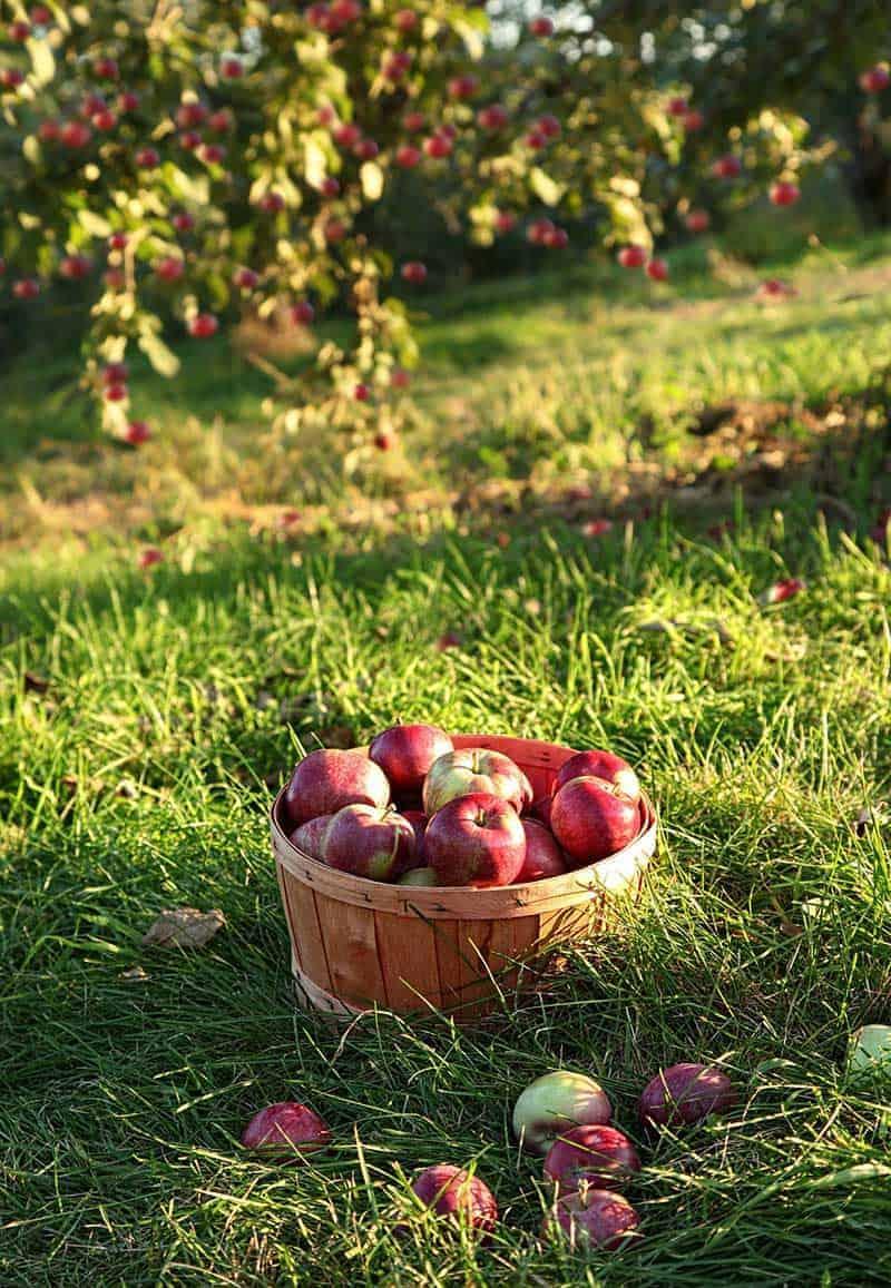Jakie owoce najczęściej można znaleźć w sadzie?