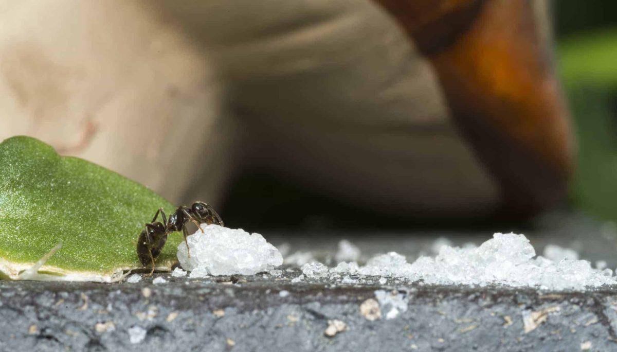 Mrówki w domu: jak się ich pozbyć? Domowe sposoby i preparaty