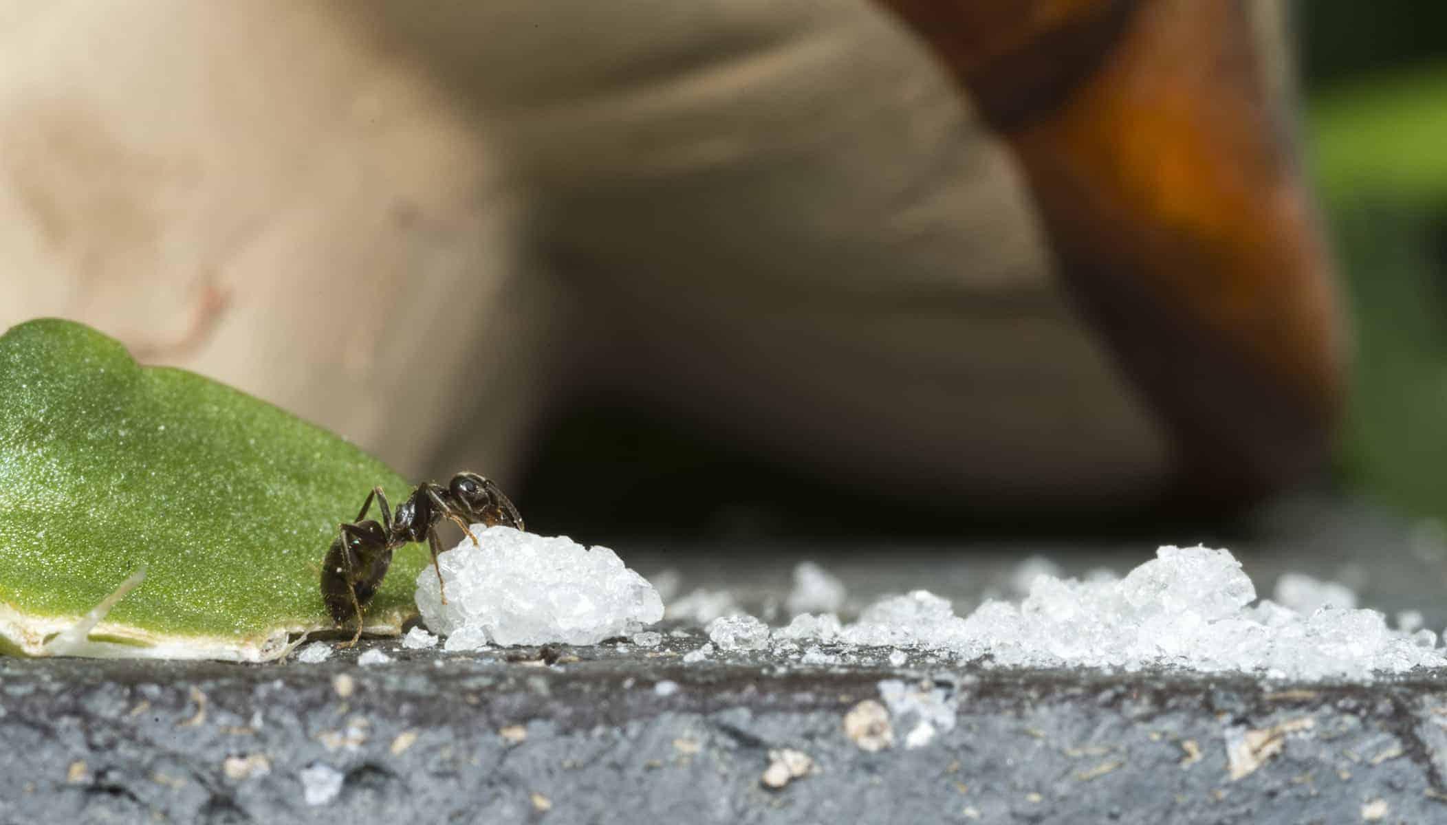 Mrówki W Domu Jak Się Ich Pozbyć Domowe Sposoby I Preparaty