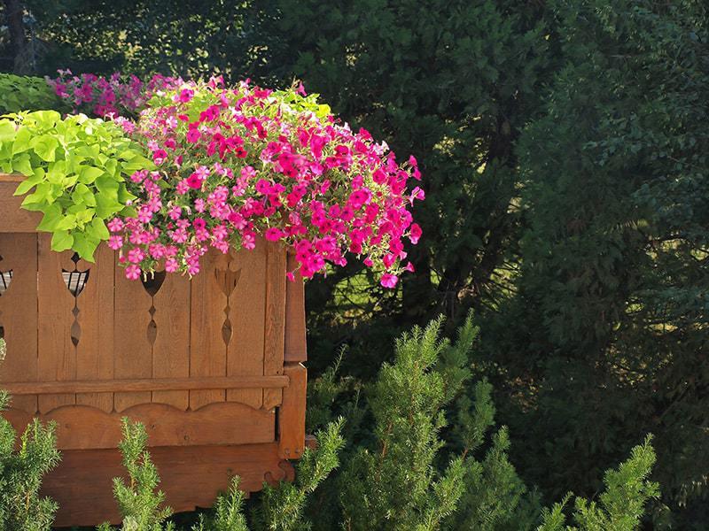 Kwiaty balkonowe wieloletnie