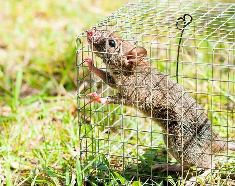Jak rozpoznać szczura i myszy w domu?