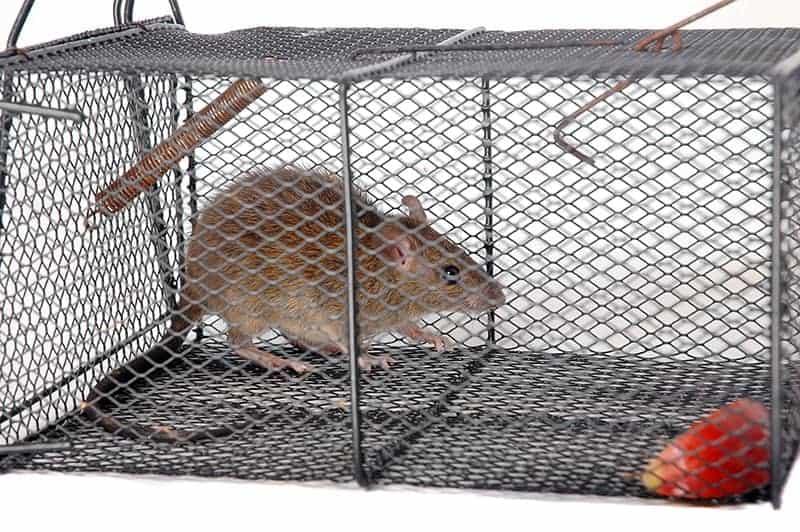 Sposoby na szczury i myszy w domu, czyli co robić?